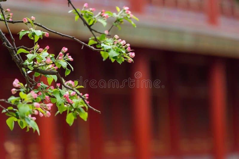 Knoppar av blommor på filialer på våren med suddig forntida kinesisk bakgrund för traditionellt byggande fotografering för bildbyråer