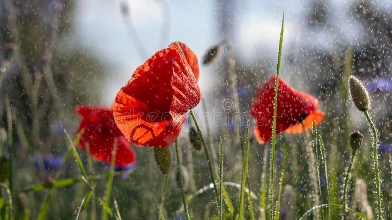 Knoppar av en blommande l?s vallmo i ett f?lt efter regn royaltyfria foton