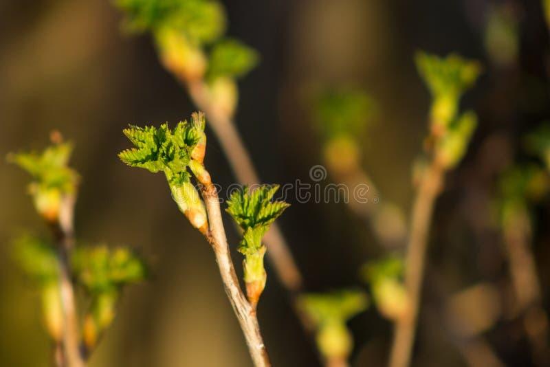 Knoppar av sidor för svart vinbär i tidig vår, lantbruk och trädgård royaltyfri bild