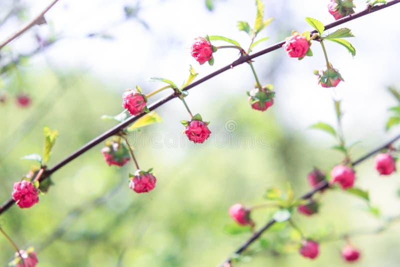 Knoppar av små rosa blommor fotografering för bildbyråer