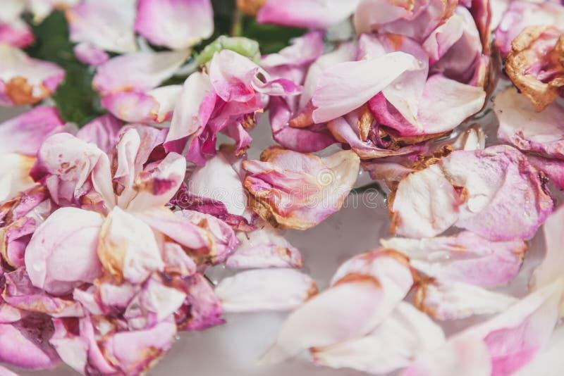 Knoppar av vissna rosor på vit bakgrund arkivbild