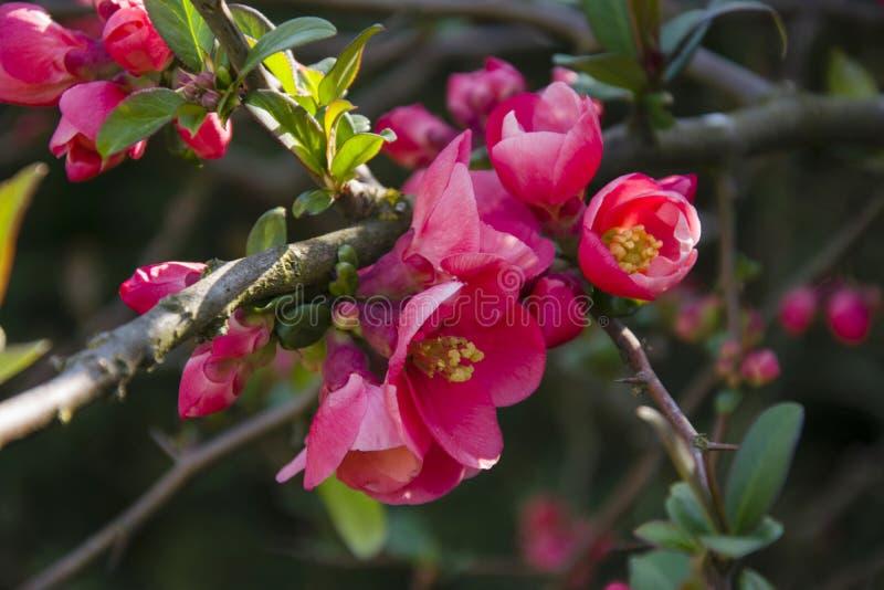 Knoppar f?r blommor f?r Cydoniaoblongatofs p? a fattar arkivbilder