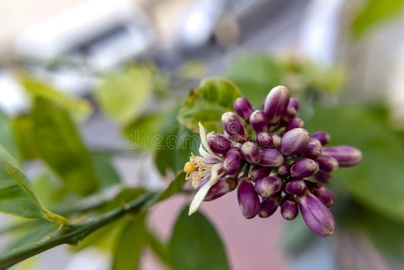Knoppar och blomma av slutet för citronträd upp på suddig bakgrund arkivbild