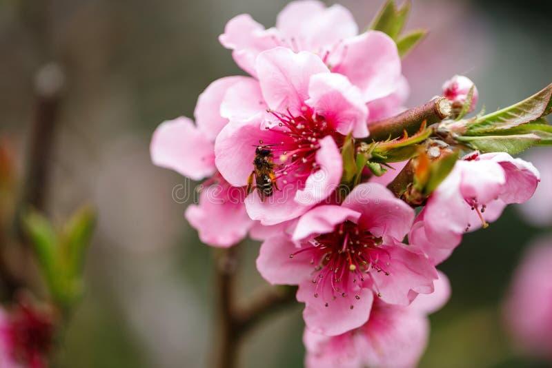 Knoppar och blommor på en filial av ett japanskt körsbärsrött träd ?ppletr?det blommar ?ver vit biet samlar honung Naturmakro royaltyfri bild