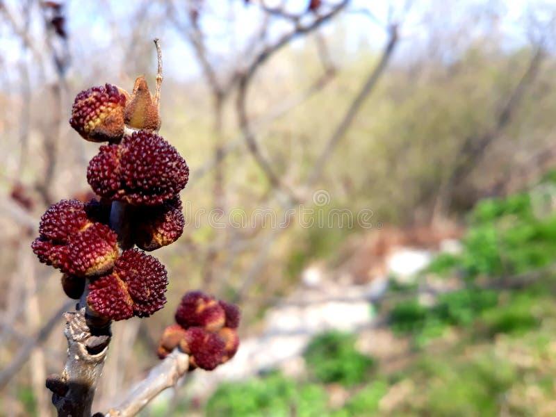 Knoppar p? en Tree royaltyfri fotografi