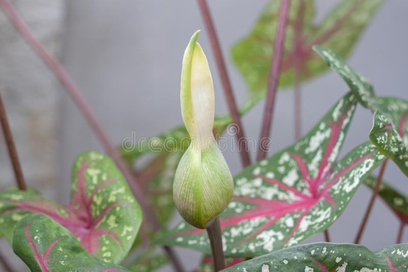 Knoppblomman av bicolor för Caladium är drottningen av de lövrika växterna fotografering för bildbyråer