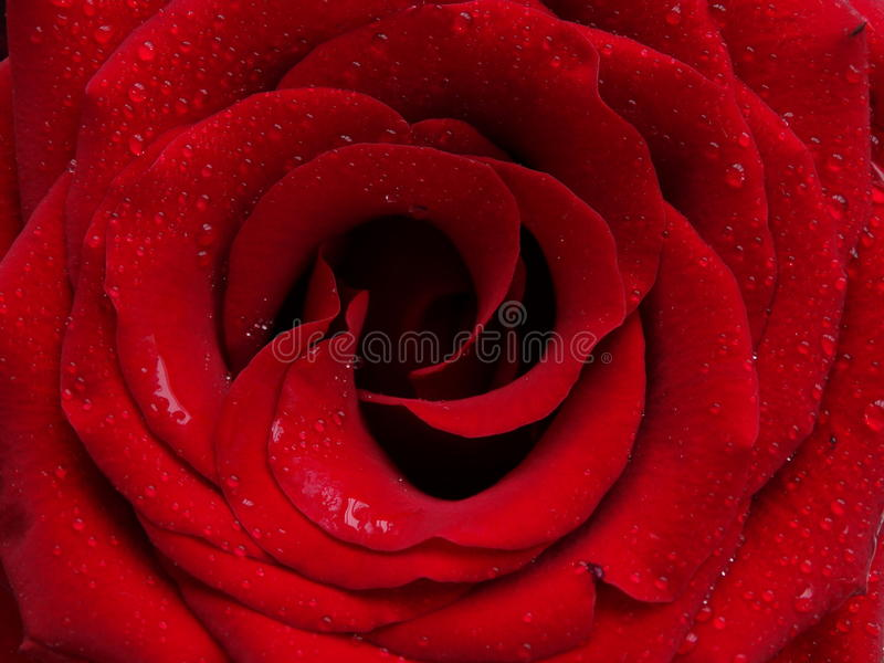 Knoppen av en röd ros royaltyfri fotografi