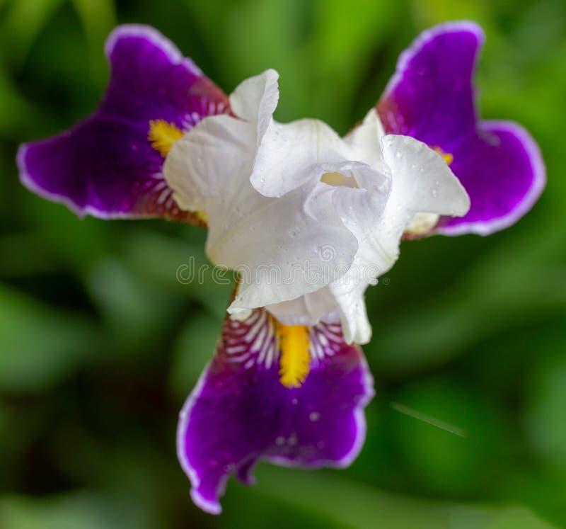 Knoppen av härlig vit med purpurfärgade kronblad av en irisblomma i dagg tappar närbild arkivfoton
