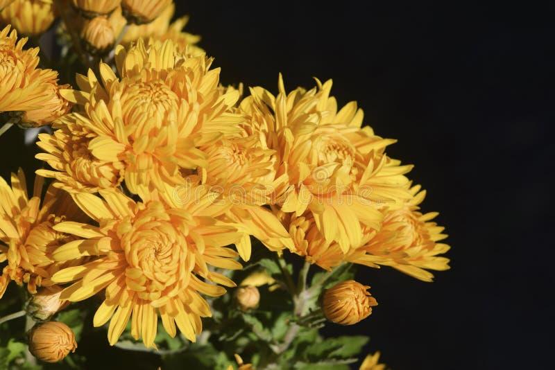 Knoppen en drop-down bloemen van gele chrysant op zwarte bedelaars royalty-vrije stock foto's