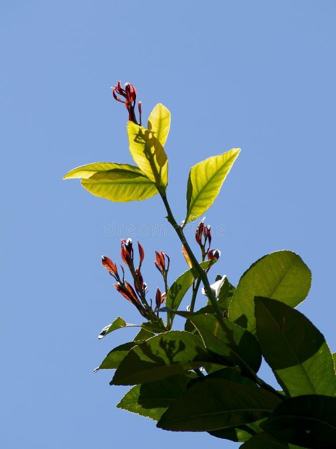 Knoppen op de tak van de citroenboom stock foto's