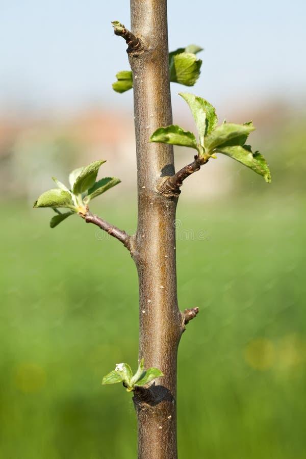 Knoppen op een jonge boom van de de lenteappel royalty-vrije stock afbeelding