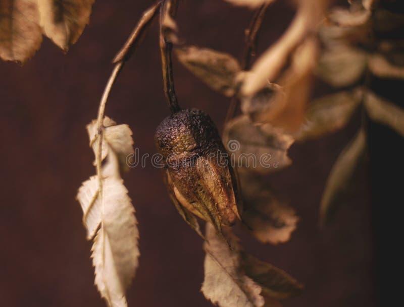 knoppen steg makroen för hösten för sidabraunfärg den vissnande royaltyfri fotografi