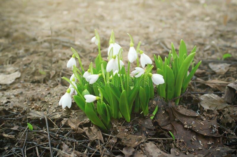 Knoppen van sneeuwklokjes Galanthus in bloesem Verse witte bloemen in een de lentebos royalty-vrije stock afbeeldingen