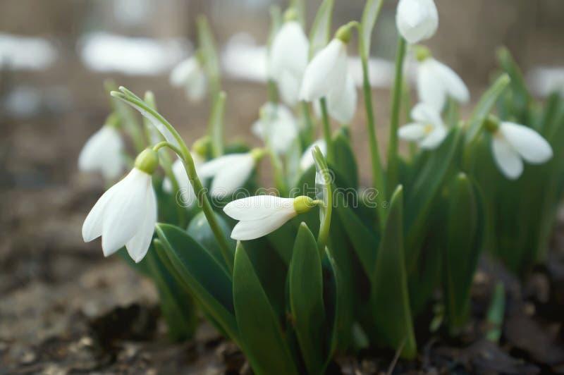 Knoppen van sneeuwklokjes Galanthus in bloesem Verse witte bloemen in een de lentepark stock foto's