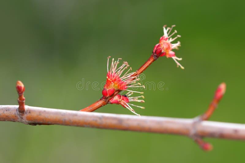 Knoppning för träd för röd lönn i den tidiga våren royaltyfria foton