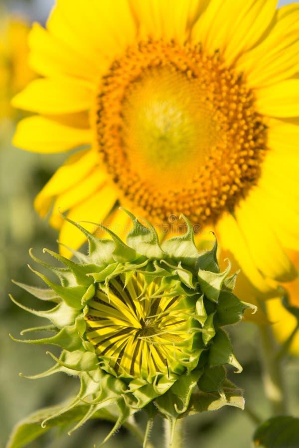 Knopzonnebloemen op het gebied met de heldere de zomerzon royalty-vrije stock afbeeldingen