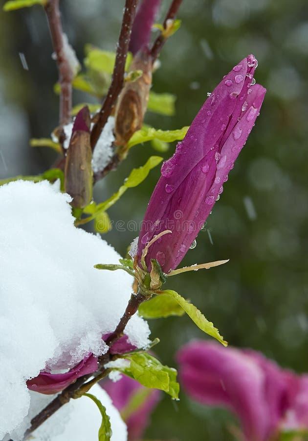 Knospe einer violetten Magnolie unter Schnee lizenzfreie stockfotografie