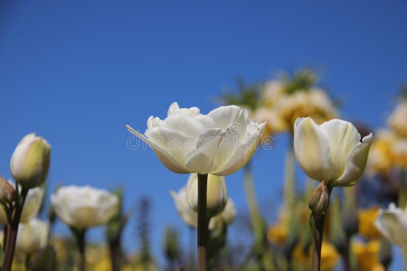 Knospen und blühende Tulpen in Springtimeธ stockbild