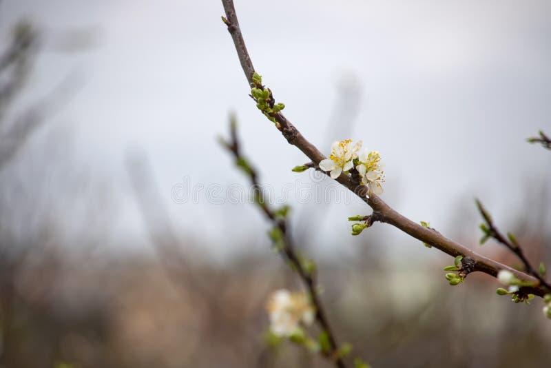 Knospen und wei?e Blumen eines Birnenbaums mit Regentropfen auf Blumenbl?ttern schlie?en oben auf einem unscharfen Hintergrund lizenzfreie stockfotos