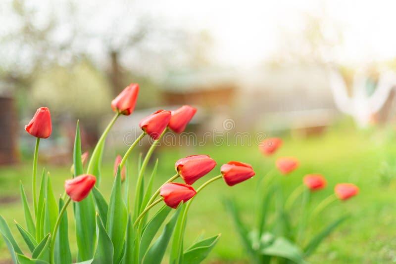 Knospen von den roten Tulpen, die in einem Garten, Abschluss aufwachsen stockfotografie