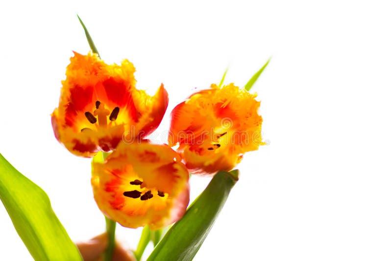 Knospen von Tulpen stockfoto