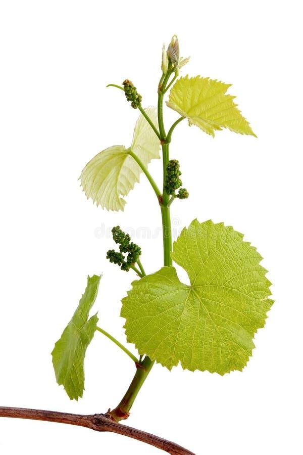 Knospende grüne Traube stockfoto