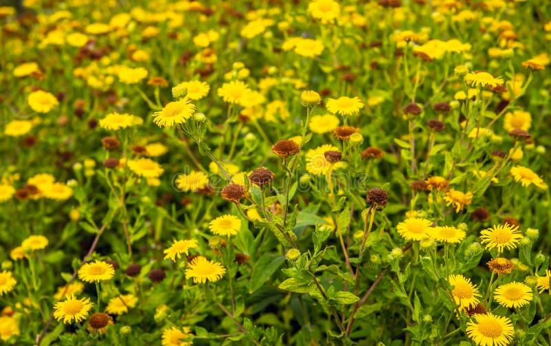 Knospungs, gelbe blühende und geschraubte gemeine fleabane Anlagen in der Sommerzeit lizenzfreies stockbild