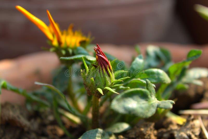 Knospungsbeschaffenheit einer Blume lizenzfreie stockfotos