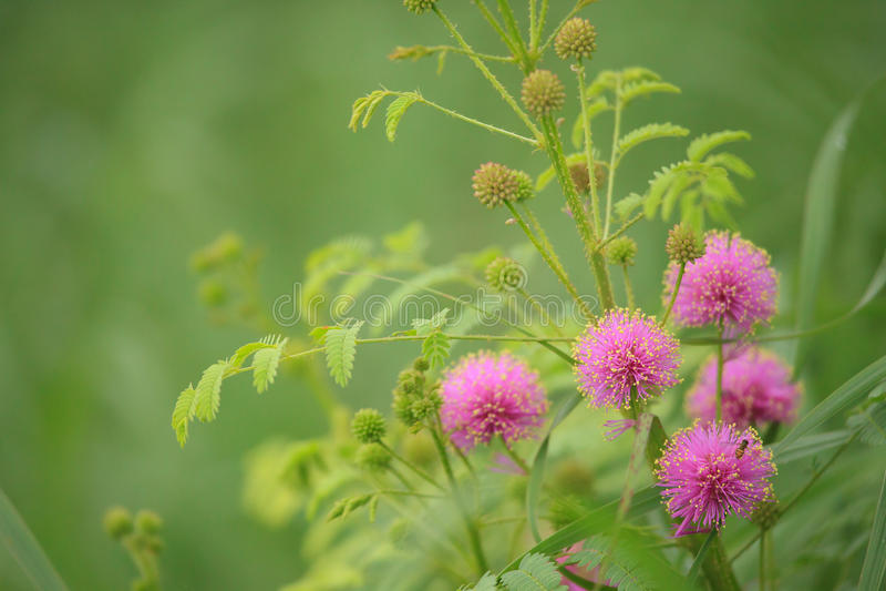 Knospungscatclaw Brier - Mimose nuttallii stockfoto