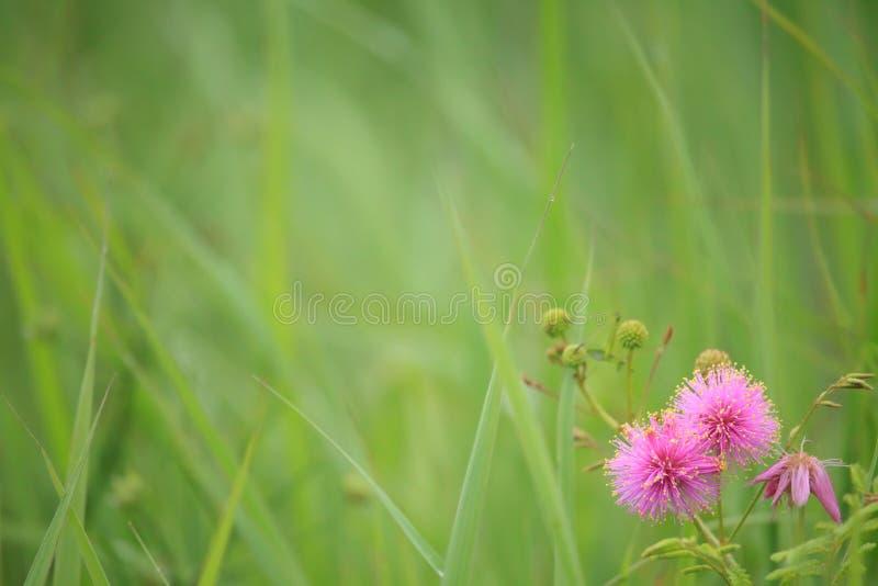 Knospungscatclaw Brier - Mimose nuttallii lizenzfreies stockfoto