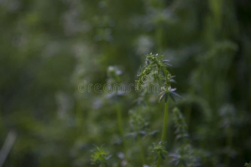 Knospungsgrüns auf einem Gebiet stockbilder