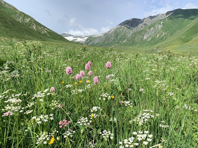 knotgrass della Serpente-radice, valeriana ed altri fiori nella gola di Zrug di estate La Russia, Ossetia del nord, Caucaso centr fotografia stock