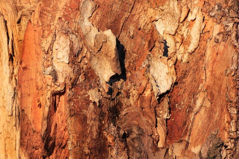 Knotig trädcloseuptextur royaltyfri foto