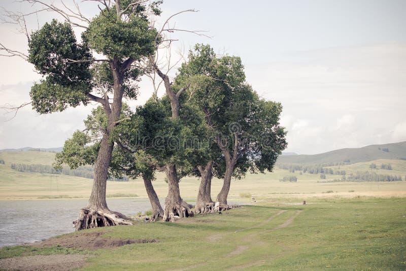 Knotiga och gamla träd nära sjön arkivfoton