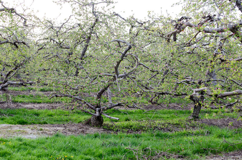 Knotige Apfelbäume im Frühjahr lizenzfreie stockfotografie
