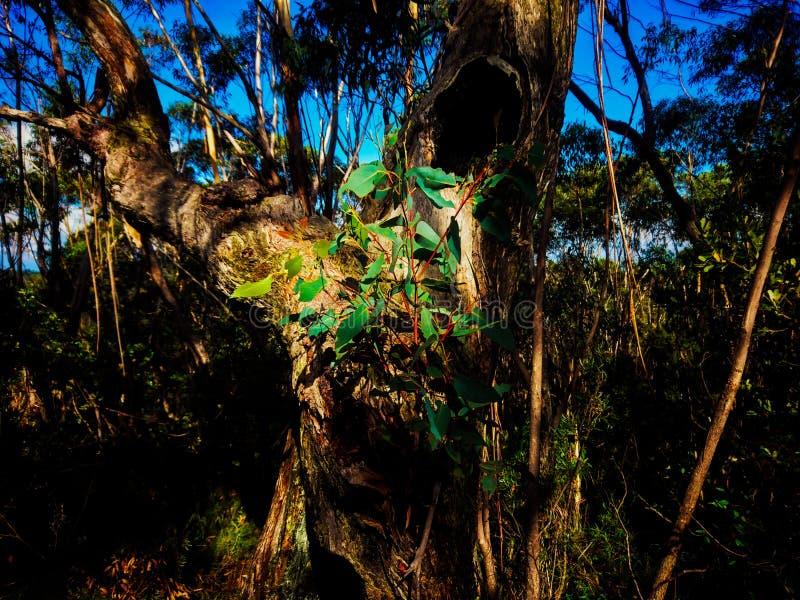 Knotiger alter Eukalyptusbaum mit neuem Blattwachstum im Sonnenschein lizenzfreie stockfotos