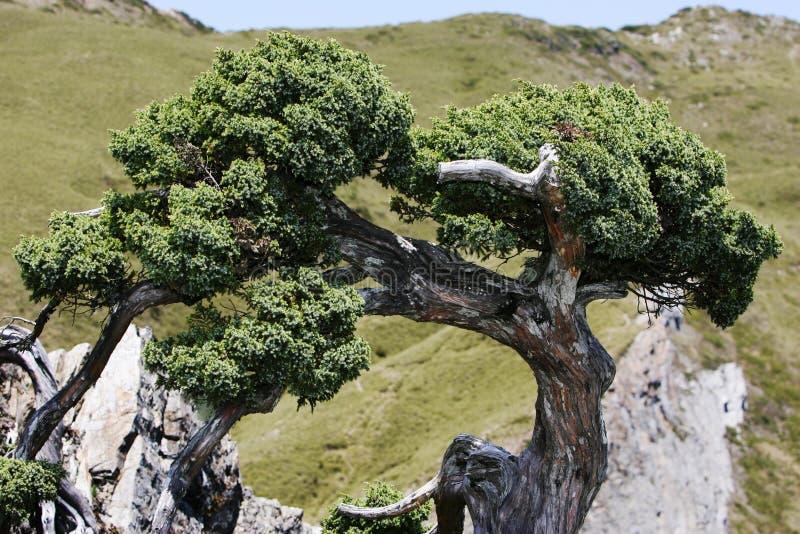 Knotiger Zypressebaum stockbild