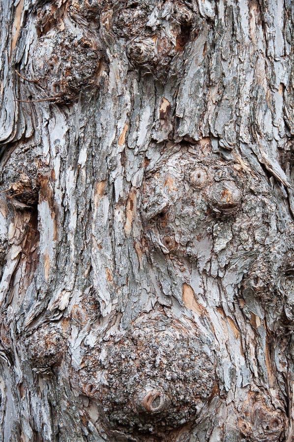 Knotigt trädskäll royaltyfri bild