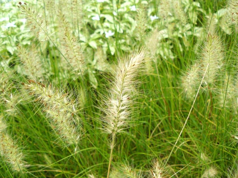 Knotroot foxtail royaltyfri foto