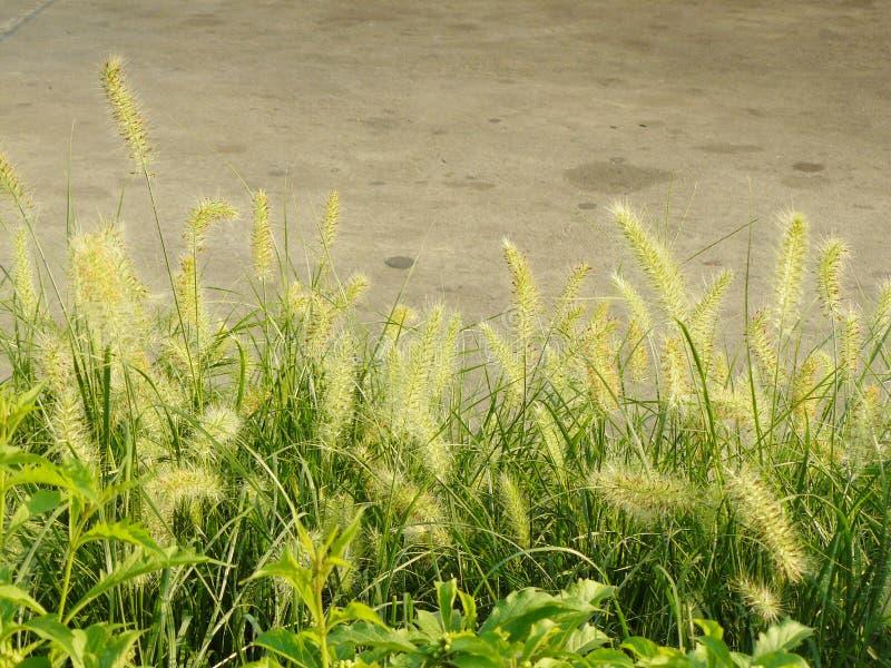Knotroot foxtail royaltyfria foton