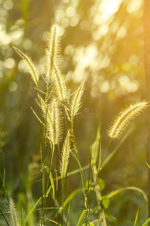 Knotroot foxtailogräs i aftonljus arkivfoton