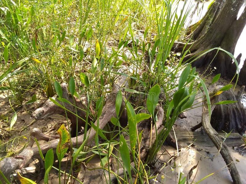 Knotty Cedar Roots lizenzfreie stockfotografie