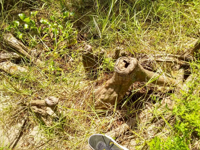 Knotty Cedar Roots stockfotos