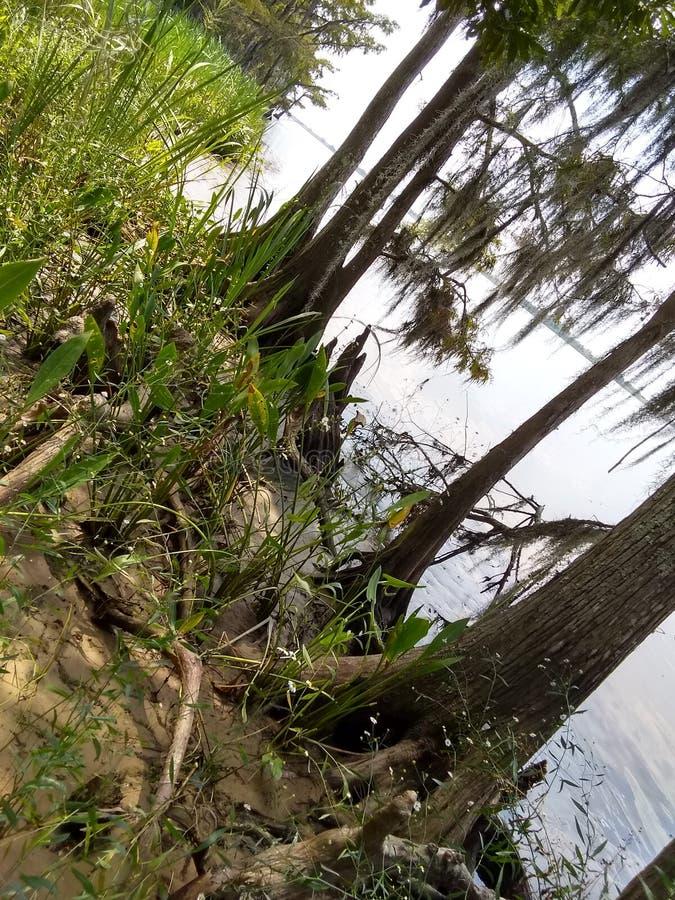 Knotty Cedar Roots stockfotografie
