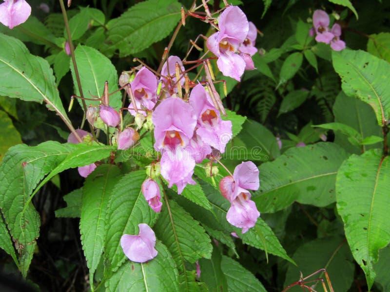 Knotweed himalayano in valle dei fiori immagini stock libere da diritti