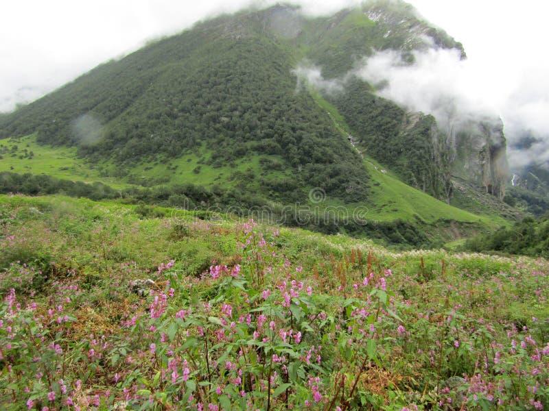 Knotweed himalayano in valle dei fiori fotografia stock