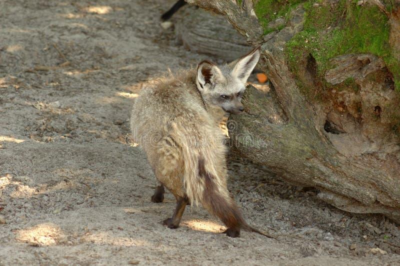 Knuppel-eared vos. royalty-vrije stock afbeeldingen