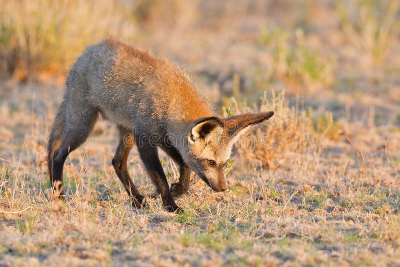 Knuppel-eared vos stock afbeeldingen