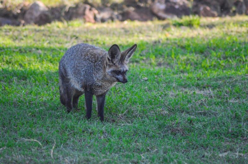 Knuppel eared vos die vrij in een het spelreserve Zuid-Afrika zwerven van Johannesburg royalty-vrije stock afbeeldingen