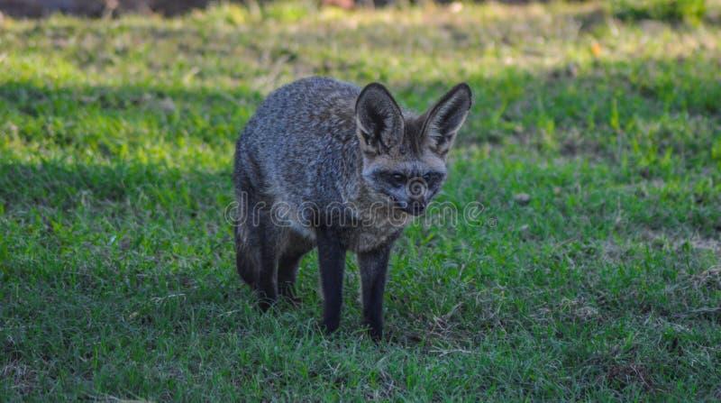 Knuppel eared vos die vrij in een het spelreserve Zuid-Afrika zwerven van Johannesburg stock afbeeldingen